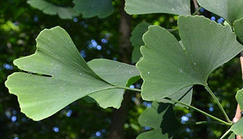 The Gingko tree in the garden of the Centre